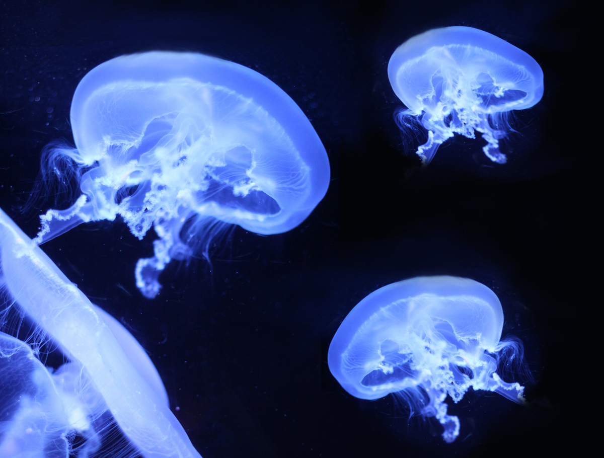 jellyfishes mysterious animals with stinging tentacles acquario